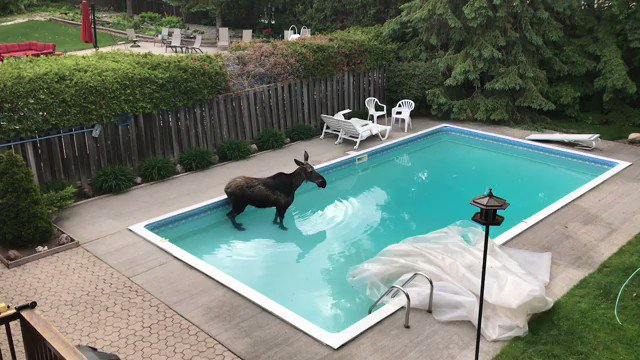 The pool moose has dried off and returned safely back to nature, but not before a little dip.  Here's the story of a Friday morning find by an #Ottawa couple: http://cbc.ca/1.5589964 via @idilmussa  #ottnewspic.twitter.com/5NeRlmMRuU