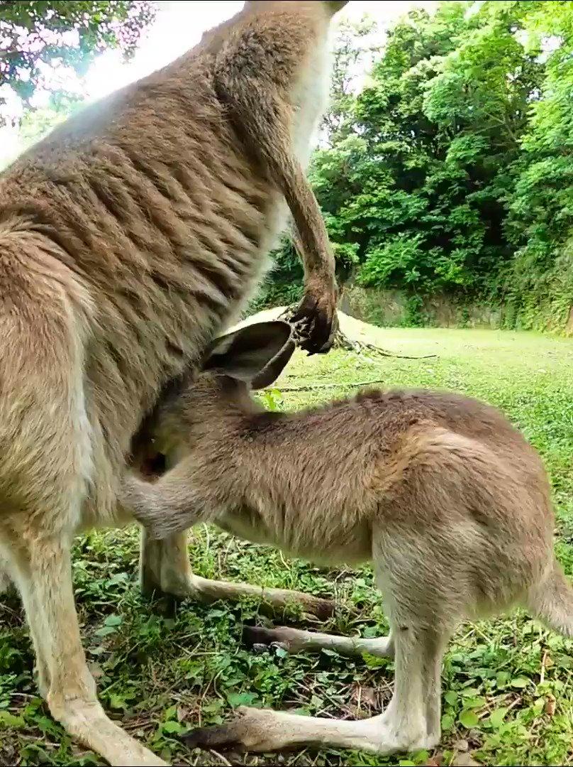 ちょっと大きめ #カンガルー の #赤ちゃん 袋に入る。 #kangaroo #baby getting into pouch.#animal #動物