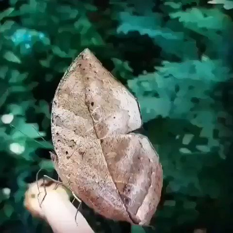 Isn't nature just amazing? The Kallima inachus, the orange oakleaf, Indian oakleaf or dead leaf, is a nymphalid #butterfly found in Tropical Asia. With wings closed, it closely resembles a dry leaf with dark veins and is a spectacular and commonly cited example of #camouflage. pic.twitter.com/aNMQHXMzuS