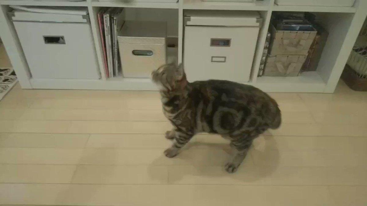 新しいおもちゃで思わずスコ立ちしてしまうエマにゃん🥰#スコティッシュフォールド#猫好きさんと繫がりたい