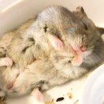 夢の中でもモグモグ!眠ったハムスターが可愛すぎる!
