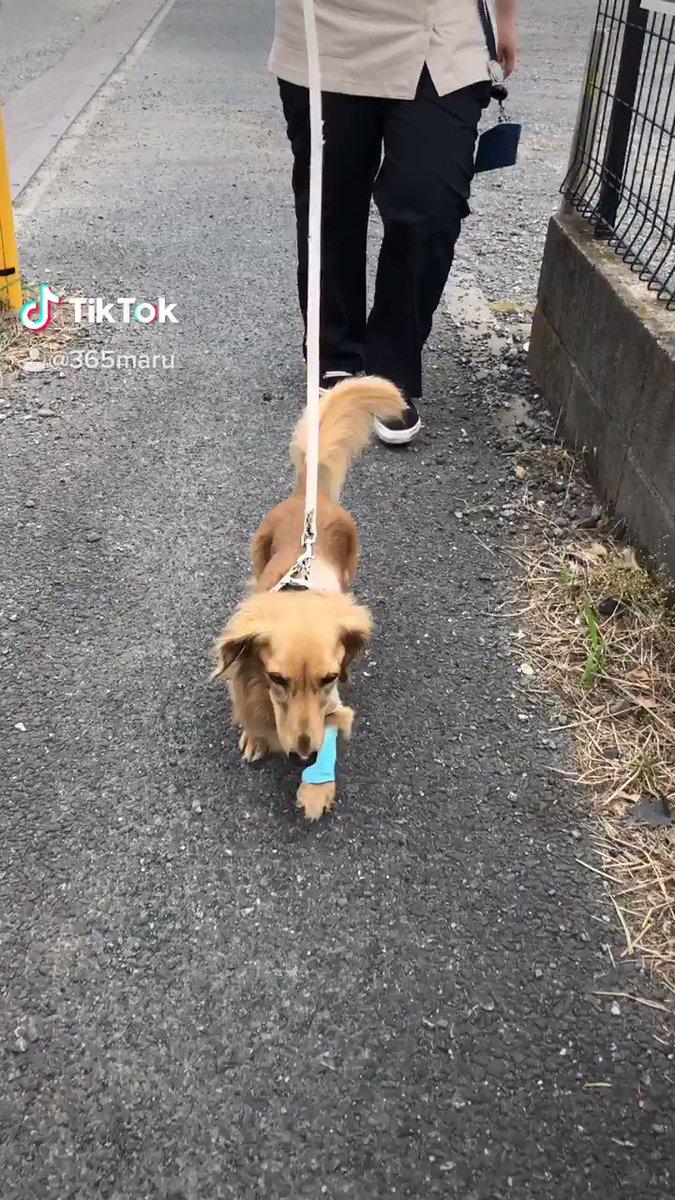心臓手術後初めてのお散歩🐶朝と昼☘心臓手術治療費の為 #クラウドファンディング に挑戦しています。治療費が足りません。ご支援ご協力を宜しくお願い致します🙇♀️→→  #TikTok   #ミニチュアダックス #拡散 #拡散RT希望 #僧帽弁閉鎖不全症 #ペット #犬 #猫 #命