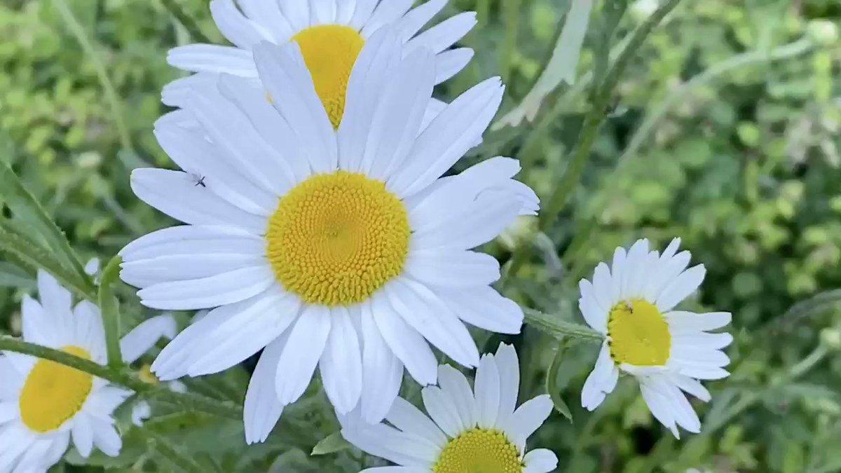 Breezy spring evening when the Daises dance #springtime #Daisies #flowers #gardeningpic.twitter.com/3T3VBNUPJg