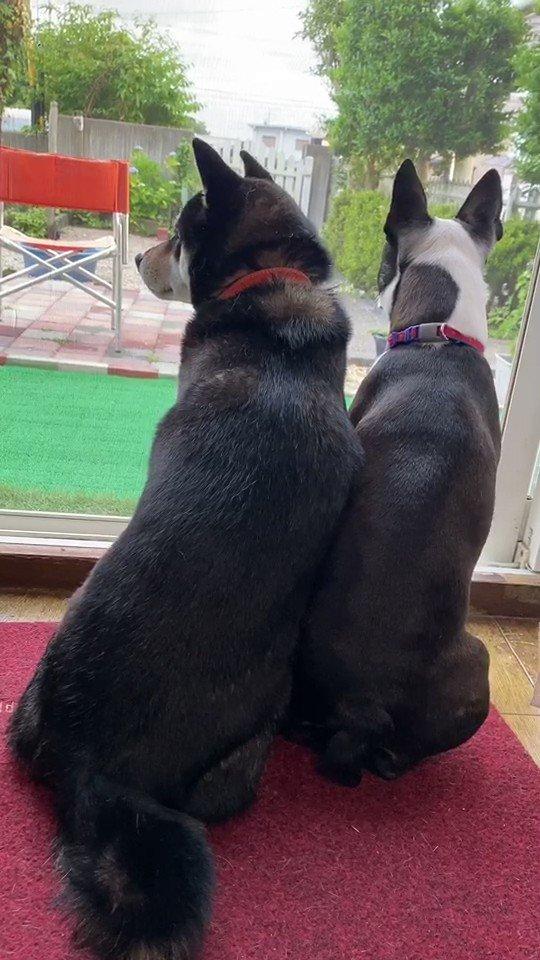 Image for the Tweet beginning: 遊んでいる子どもたちが👶🏻👶🏻🧒🏻🧒🏻 気になって気になって👀👀  #柴犬 #シバ犬 #shibainu #つくし #ボストンテリア #bostonterrier  #ナパ #犬 #dogs #かわいい動画 #funnydogs