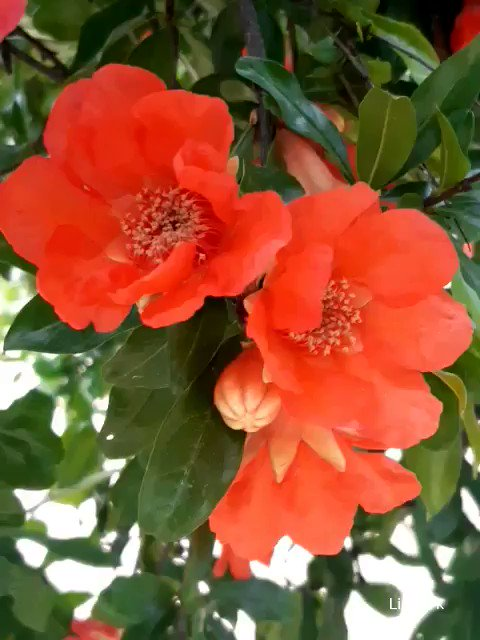 Happy June!              with        pomegranate          tree flowers  #junio2020 #nature #Flowerspic.twitter.com/N7o5r0Tz87