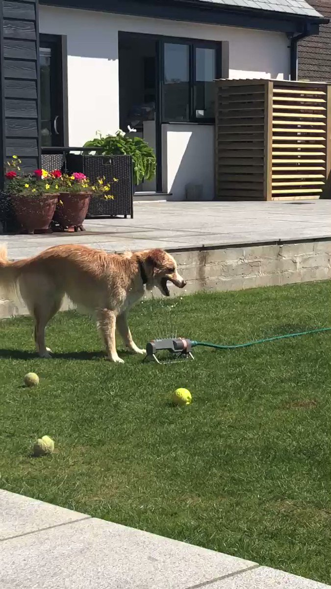 #DogsofTwittter #dogsduringlockdown #collie #water  We got a new toy today.  pic.twitter.com/dfesKTgcDL