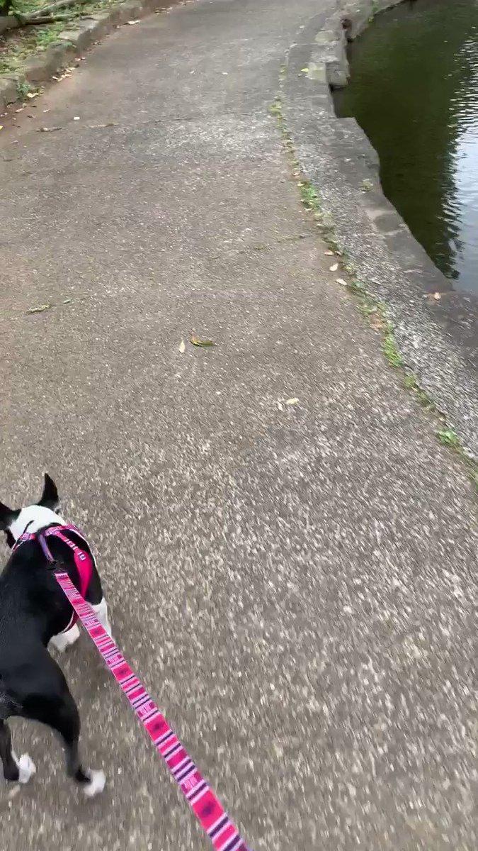 いつもの鴨さん  チラ見スルー #ボストンテリア #犬  #bostonterrier #ワンコpic.twitter.com/v6BCUqMU7f