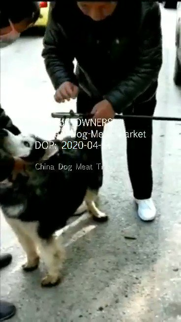 """.@irishexaminer 🙏🏽REPORT: #Dogs #Cats Were #Never #On #China's #LivestockList  NOW #Selling Either 4 #HumanConsumption is """"#Illegal"""" in #Restaurants #SlaughterHouses  #What about in #Homes  #How will the #Monitor #Breeders #Vendors..#Selling #Dogs for #Food⬇️  Is #Yulin #Canceled"""