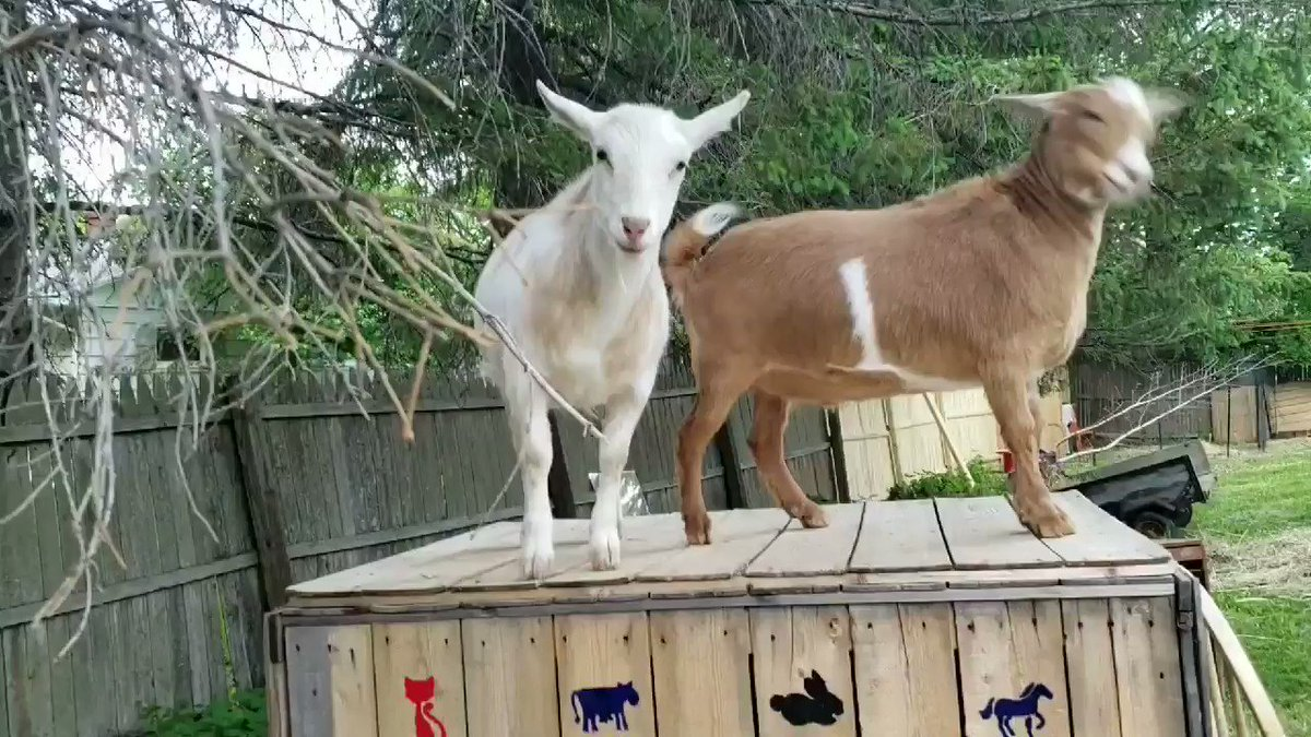 I'm the #king of this box!! #goats who will #overthrow their own #family! #stomppic.twitter.com/W21Ucsr0CN