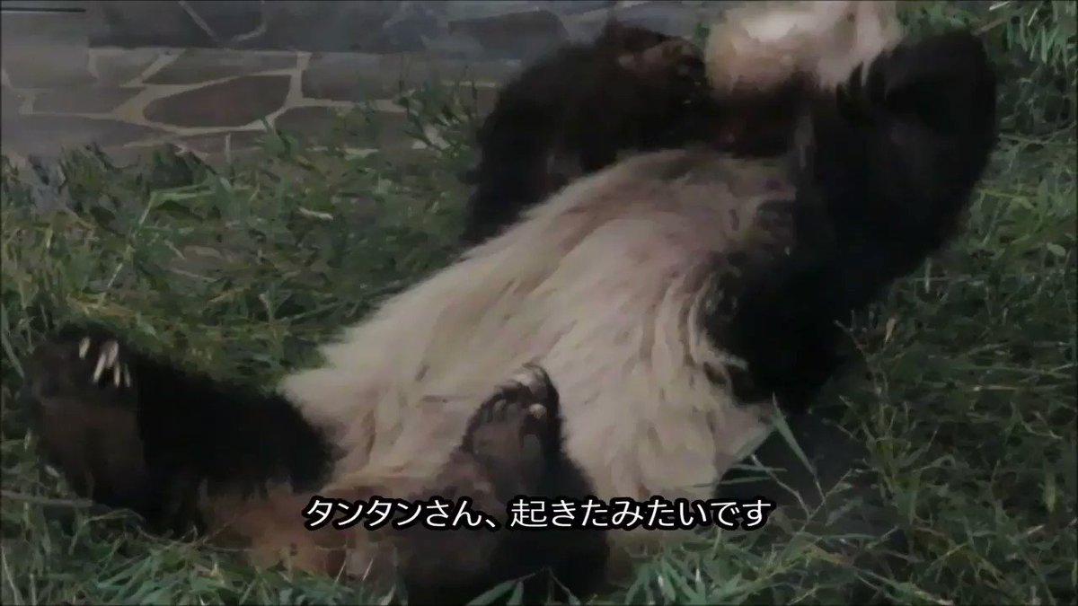 今朝はタンタンさんの寝起きを撮影できました!よっぽど気持ちよく寝てたんですね(笑)しかし、お尻が🤣#きょうのタンタン #王子動物園#お尻が大変な白黒なあの子