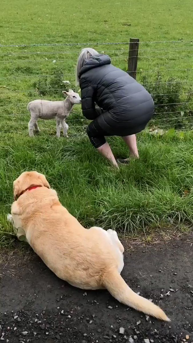 Mum this morning has been leading the peace negotiations with the sheep  This lamb says she is the leader.... I think mum is being FOOLED!  She is cute tho..  #dogsoftwitter #dogs #Dog #dogsofinstagram #tuesdayvibespic.twitter.com/RmVVenFIJr