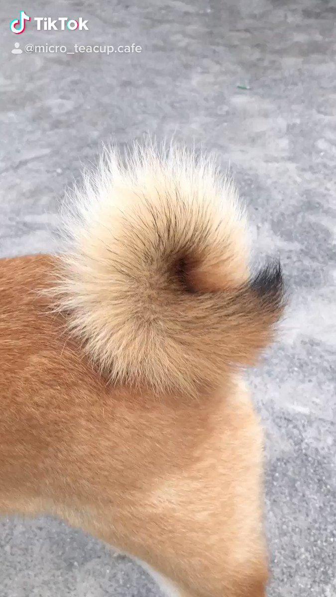 犬かな?キツネかな?いや犬になりすましたキツネかな?#TikTok #犬かな #キツネ顔 #おすすめのりたい #柴犬 #豆柴 #犬のいる生活 #癒し #犬カフェ #マイクロティーカップカフェ #秋葉原