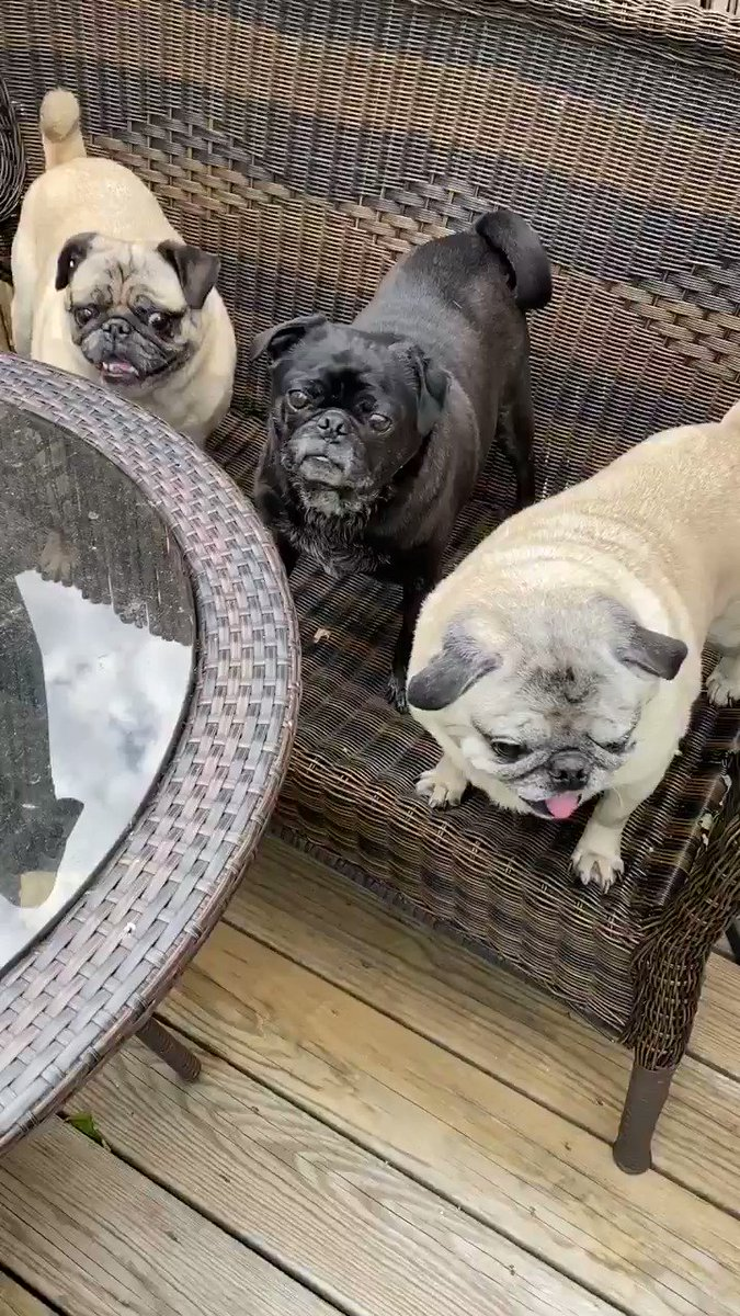 Poppy!! We're ready for our dinner. Where are the menus?? #tuesdayvibes #dog #dogs #dogsoftwitter #dogsofinstagram #pug #pugs #lulunaticspic.twitter.com/FjLPCwJBEI