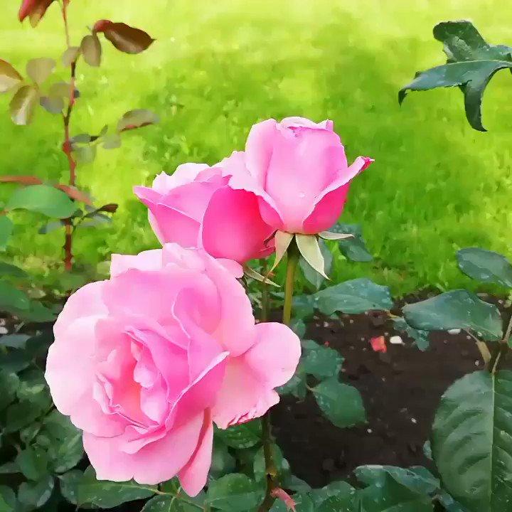 #viataperfectaro #perfectlife #roseflower #garden #perfume #monjardin #nature #lovelife #inspireothers #behealthy #beauty #behappypic.twitter.com/6i2qQpVJJ6