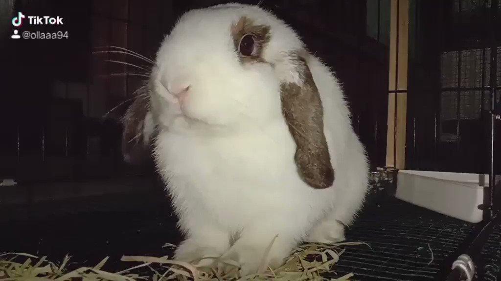 Eating Hay #CuteAnimals #rabbit #hollandloppic.twitter.com/7XQRp0ku5o