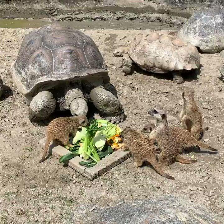 エサどろぼー。thief.#リクガメ #ミーアキャット #tortoise #meerkat #animal #動物