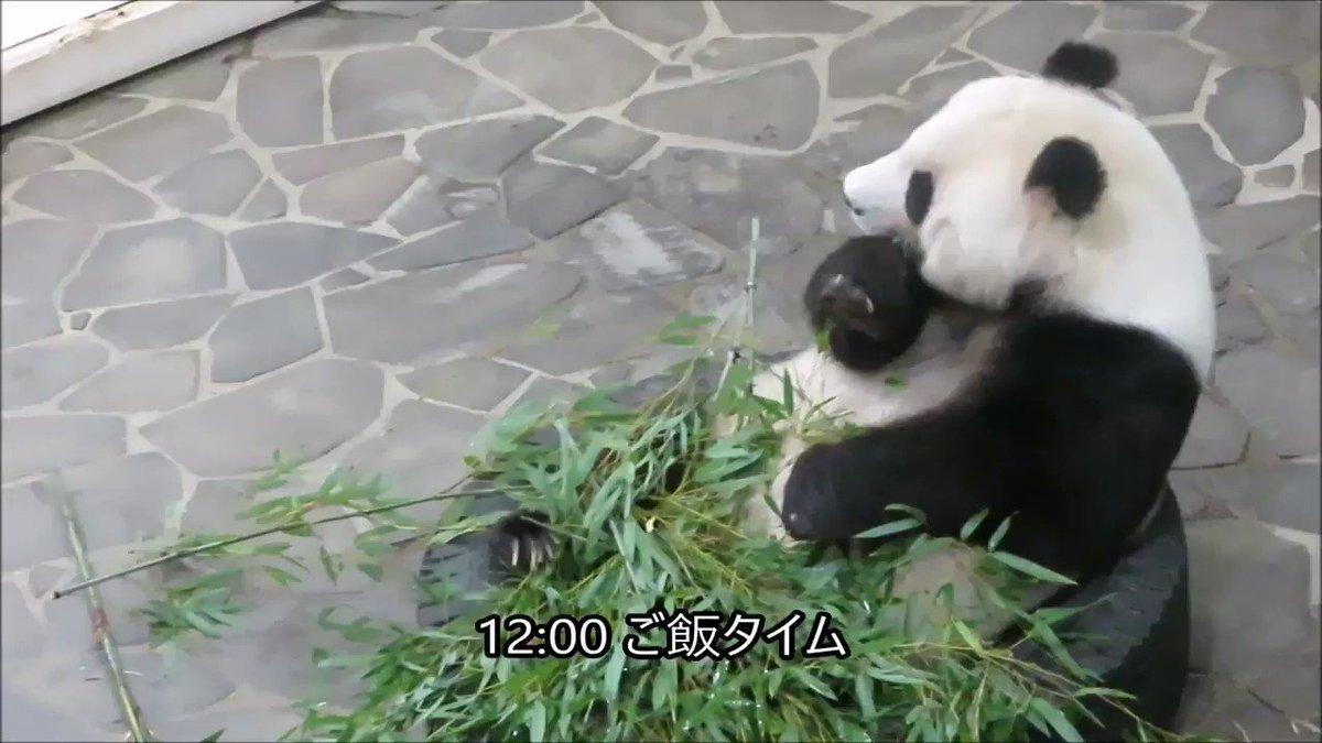 お昼ご飯中のたんたんさんです🐼もりもり食べてます!#きょうのタンタン #王子動物園