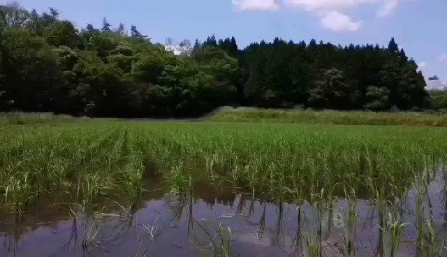 安芸高田市高宮の道免さんの八反草の田んぼです。高宮近辺は広島県の酒米栽培の中心地。今年もいい米になりますように! #八反草 #広島の酒  #富久長  #fukucho  #sake  #hattanso https://t.co/B5tiUHnHh1