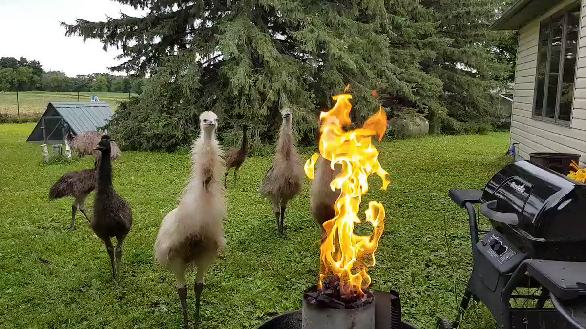 The emus are performing arcane summoning rituals in the backyard again.