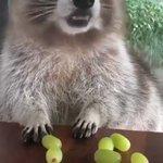 「ダメダメ!全部僕のだよ!」ブドウを守るアライグマ
