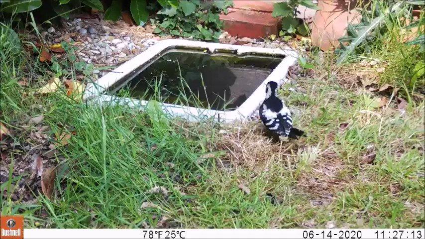 Juvenile Great Spotted Woodpecker by our sunken Butler Sink wildlife pond. #wildgarden #NorthNorfolk https://t.co/hqIFxQhsZB