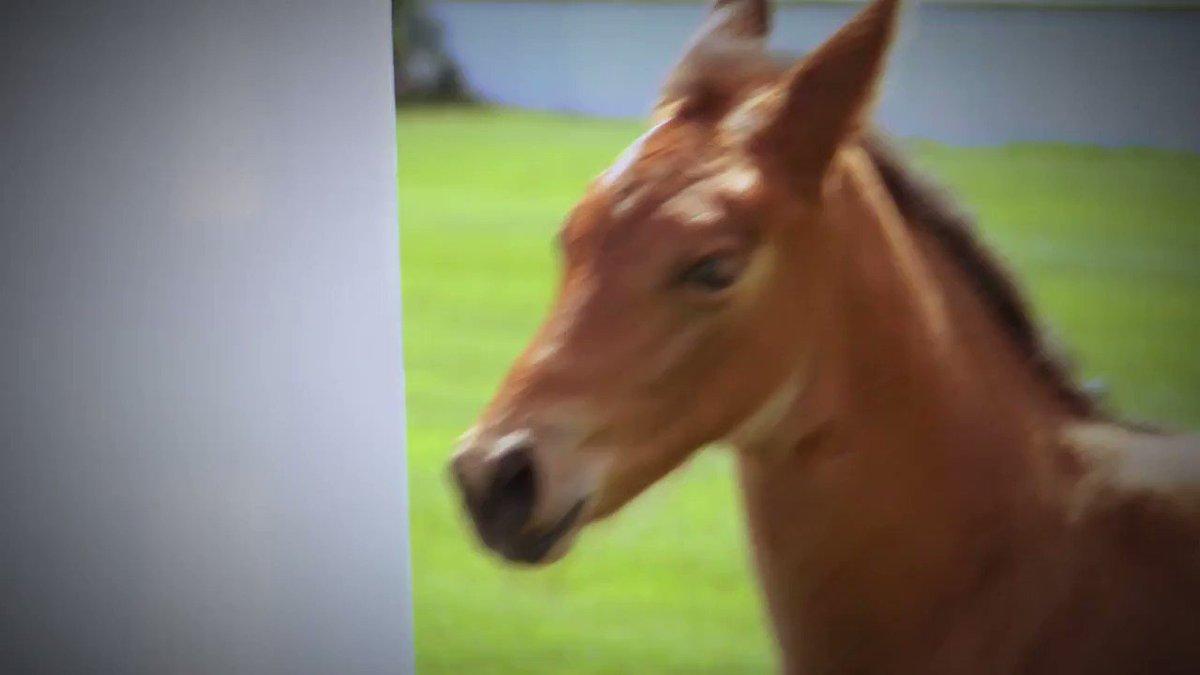 Imagen para el comienzo del Tweet: #SpruceMeadows Name the Foal, presentado