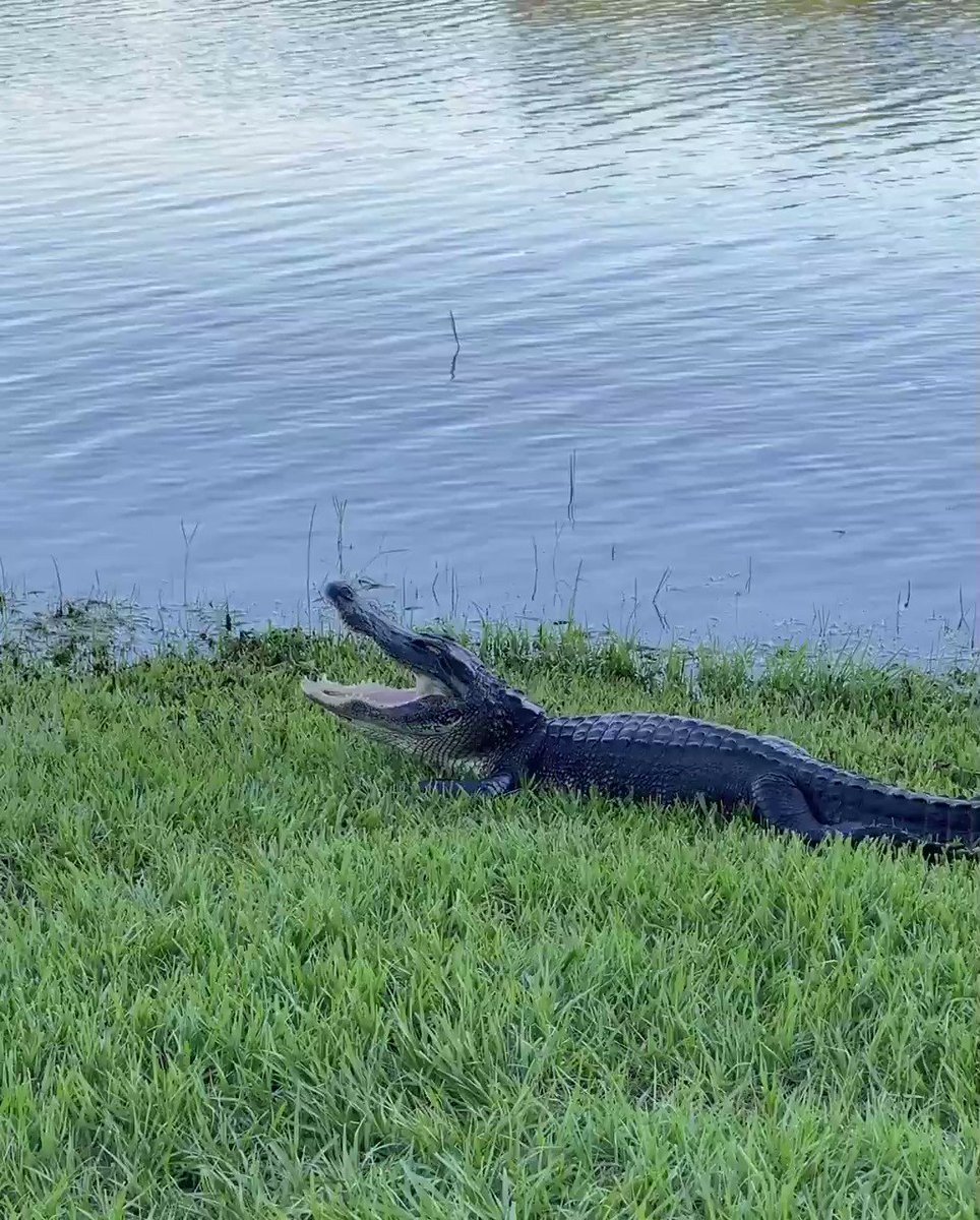 Another quiet evening on campus. Even the #Gator is yawning 🐊 #LakeAlice #UF 😊
