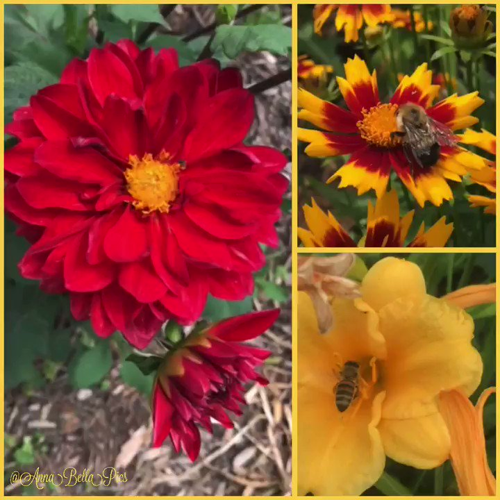In the garden this afternoon watching some little visitors enjoy some red & yellow blooms❤️💛🐝 #garden #flower #thursdayvibes