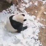 中に人間が入っているみたいでんぐり返しで転がってくパンダ