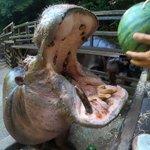 【長崎バイオパーク】スイカを食べるカバの咀嚼音が豪快過ぎる
