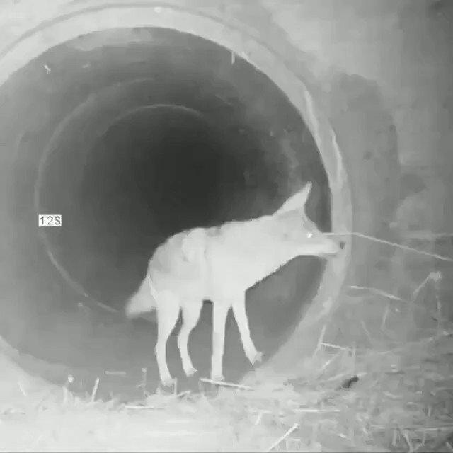 En Californie, a été filmé, un coyote et un blaireau qui traversent ensemble un tunnel sous une autoroute 🥰. https://t.co/gUXCtsHKVr