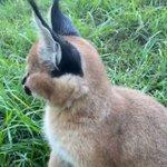 20もの筋肉を自在に動かして獲物のかすかな物音を察知・ネコ科動物のカラカル(学名:Caracal caracal)