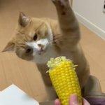 なぜか、とうもろこしをめちゃくちゃ叩きまくる猫!