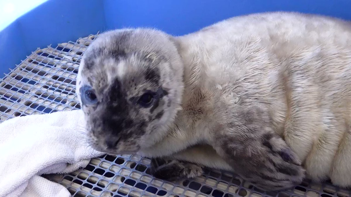 """Our latest admit has been named """"HF Justin Turbot"""". He's still a bit """"wobbly"""" on his flippers and being watched carefully by our staff as he recovers from facial wounds and dehydration. https://t.co/zKVrfLt6gG #yvr #rescue #animalrescue https://t.co/isxsSPvVJl"""