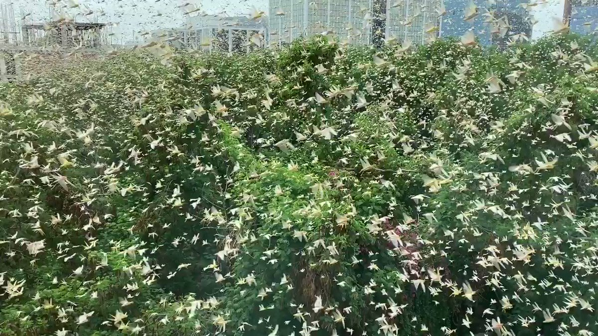 THIS IS HUGE!  A swarm of locusts just hit new Gurgaon.  Wonder how none saw it coming. https://t.co/G0QxXWc6Lu