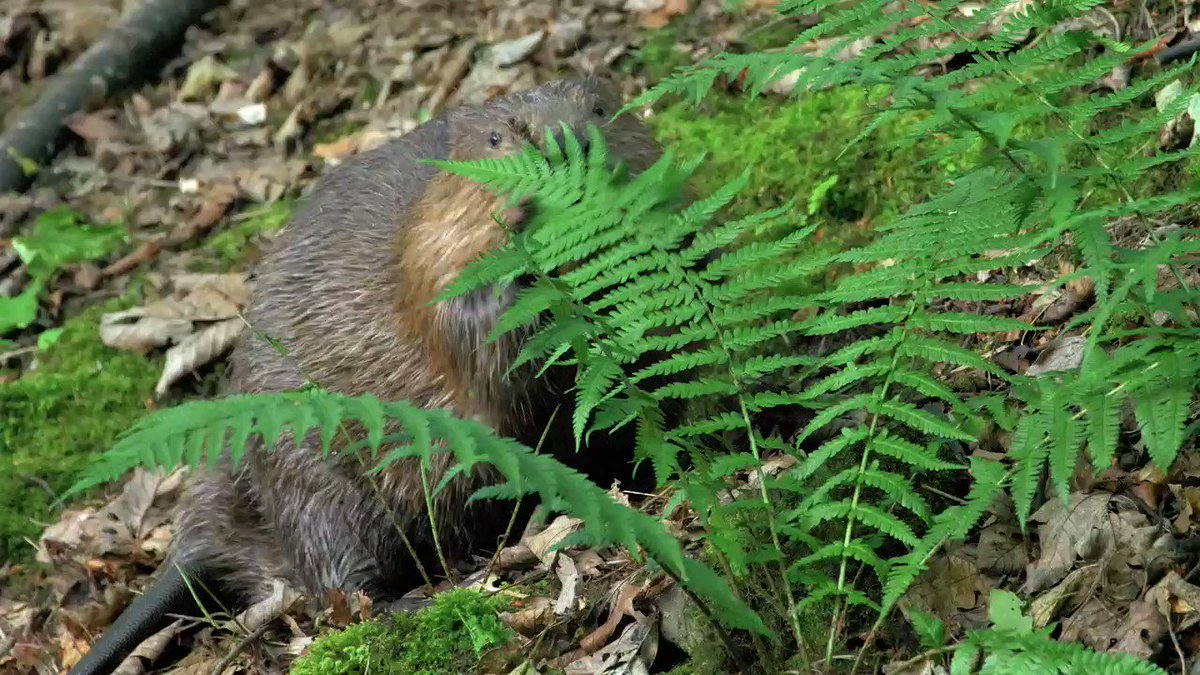Our next #rewilding story, Making Beavers Mainstream, explores how a shift in policy is urgently needed to allow beavers to spread, free from persecution, to see an abundance of life return in their wake. Coming this Thursday, straight to your inbox: scotlandbigpicture.com/thinklikeamoun…
