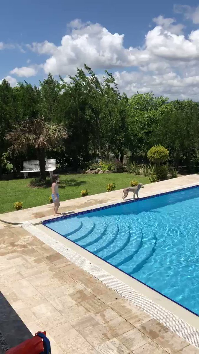 """Here's a video of a Bedlington Terrier learning to """"swim!"""" with a five-year-old boy. Enjoy"""