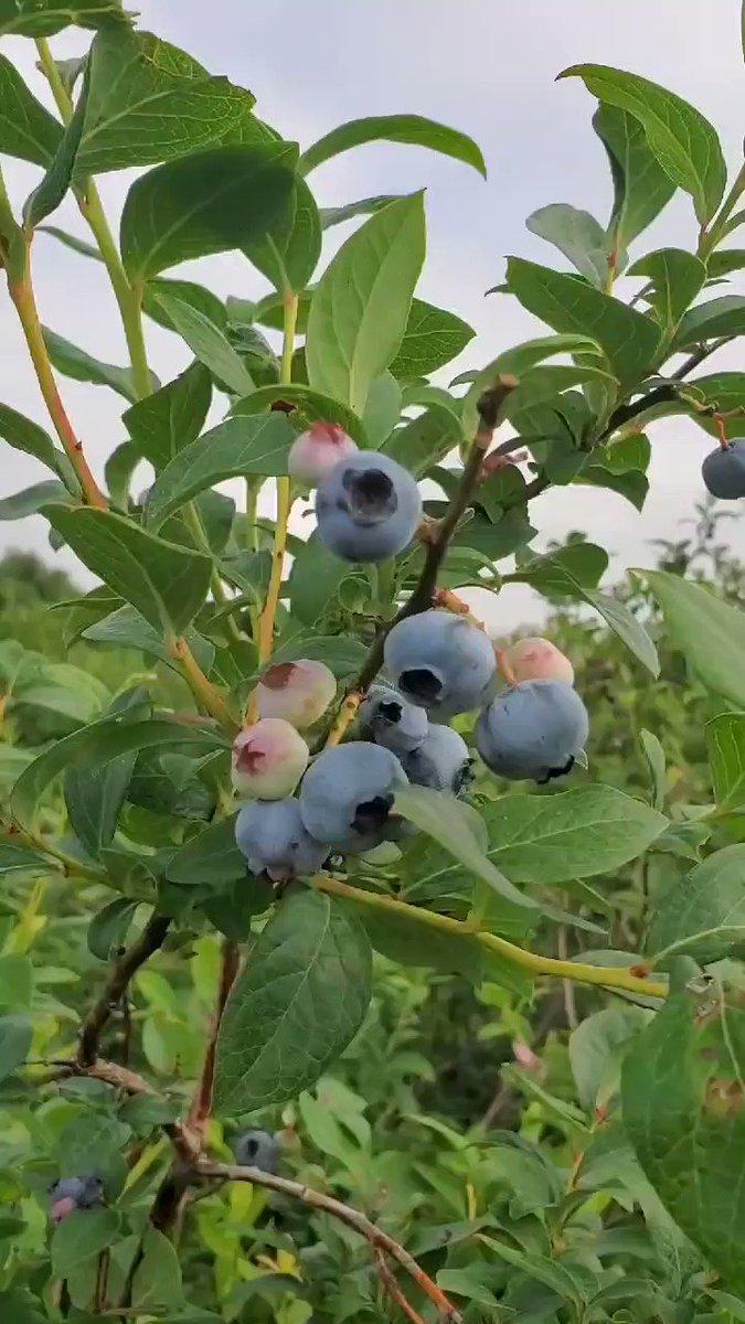 Blueberries!! #food #eating #fruitpic.twitter.com/xyQEM0Faph
