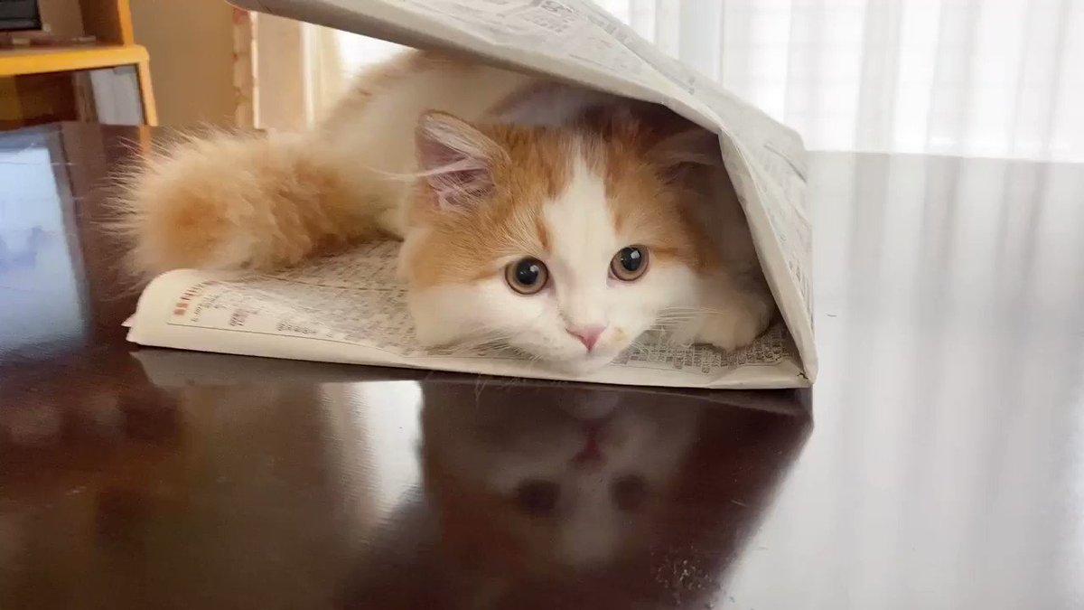 ぼく、おかき なになになに〜?  おかきちゃんのどアップ👀✨  #cat #kitten #minuet #boku_okaki #okaki #おかき  #ぼくおかき #ミヌエット #短足 #マンチカン #猫 #子猫 #ねこのいる生活 #ふわもこ部 #もふねこ #猫好きさんと繋がりたい #キャットファーム大谷 #おうちでねこにすと動画