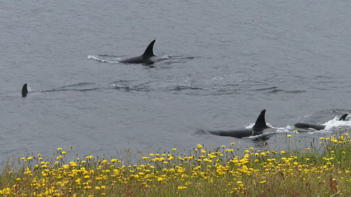 Orcas (the 27s pod) off the south Mainland, #Shetland yesterday filmed by our 14-year old daughter Cerys. What a day! @VisitScotland @PromoteShetland @kazcustard @BDMLROrcaAware @TheOrcaProject @whalesorg @OnTheKWTrail @SunnysidePri @kasmunro @SaversSea @Britnatureguide