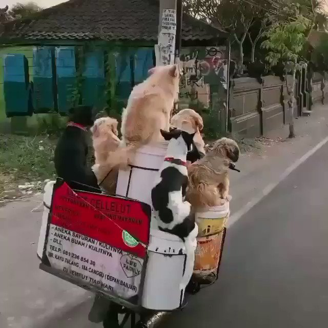 I firmly believe that everyones timeline will be made better by this! This smiling man drives around Canggu in Bali everyday with his doggo family, known as The traveling dog man. Goals! Have a great day everyone! 💚 #sundayvibes #SundayThoughts