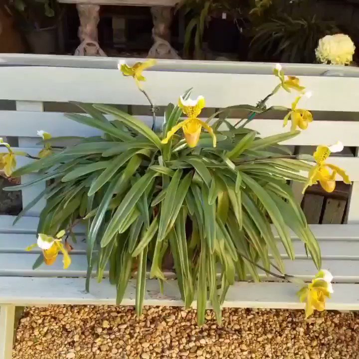 Paphiopedilum insigne by John Harriman  #orchids #orchid #flowers #flower #orchidee #nature #orquideas #orchidea #orchidlover #orqu #orquidea #plants #follow #garden #flores #orchidworld #deas #britishorchidcouncil #orchidshare #love #dea #plantas #asorquideas #orkid #photography