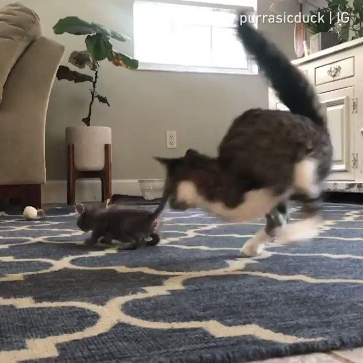 From purrasicduck  We can actually learn a lot from cats  #meowed #meowedofficial #TheMeowedClub https://t.co/otSO62i7KC