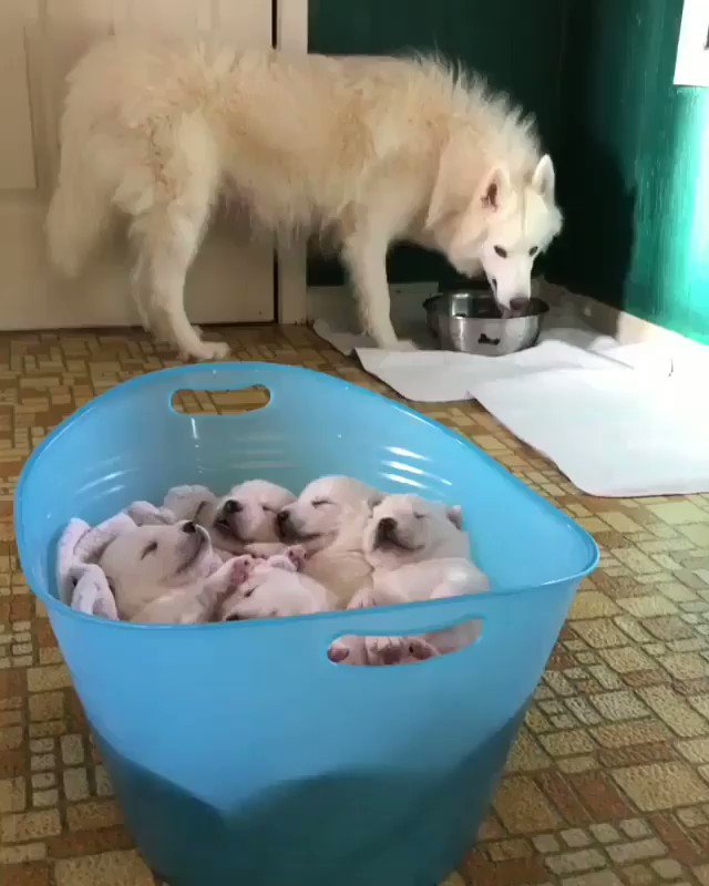 Replying to @PopularPuppies: Super cute puppies sleeping in bucket 🐾