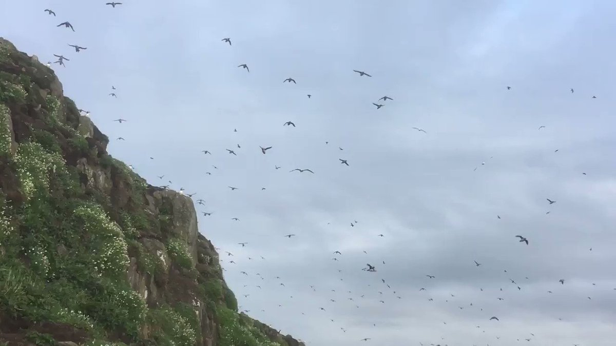 Morning all, a cold grey start but the flyby Puffins don't disappoint on the Isle of May...
