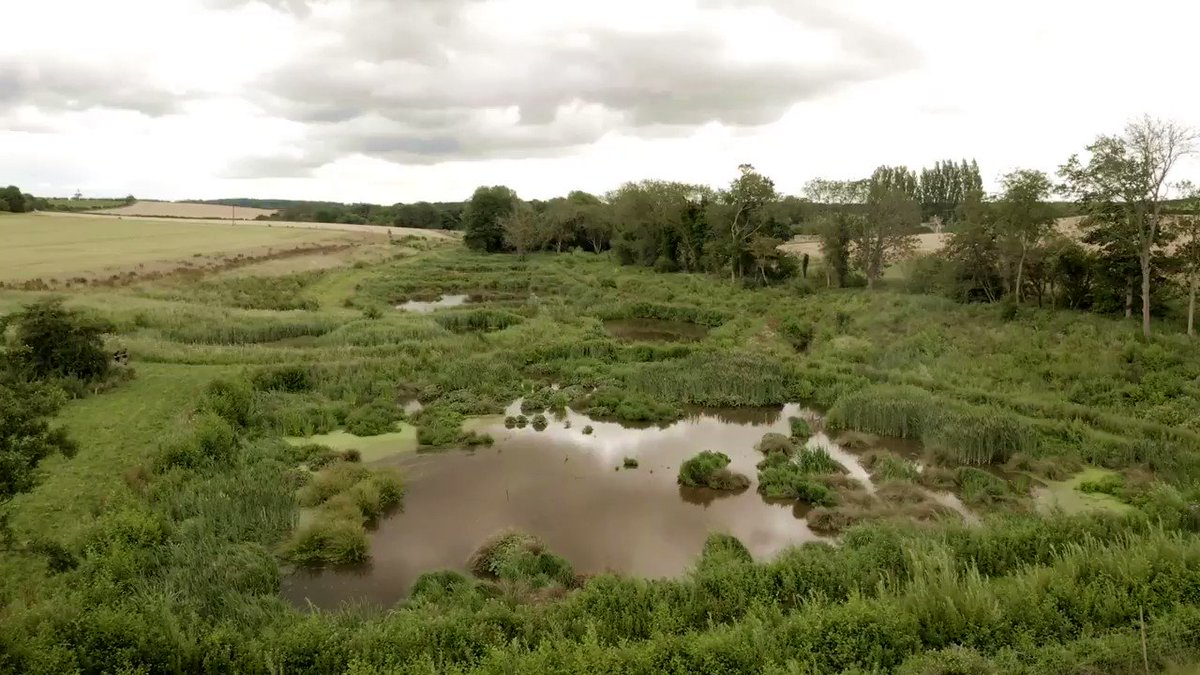 The Ingol river and wetland! The river links to good natural habitat @SnettishamPark, two more restoration projects downstream and on to Snettisham @Natures_Voice and close to awesome re-wilding project @WildKenHill. Footage from @Josh_Jaggard