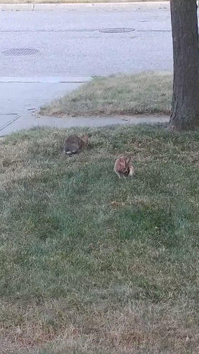 These two almost made Gamma late for work this morning. She hates to interrupt a good bun tub. #bunnies pic.twitter.com/nLEYYhuSVx