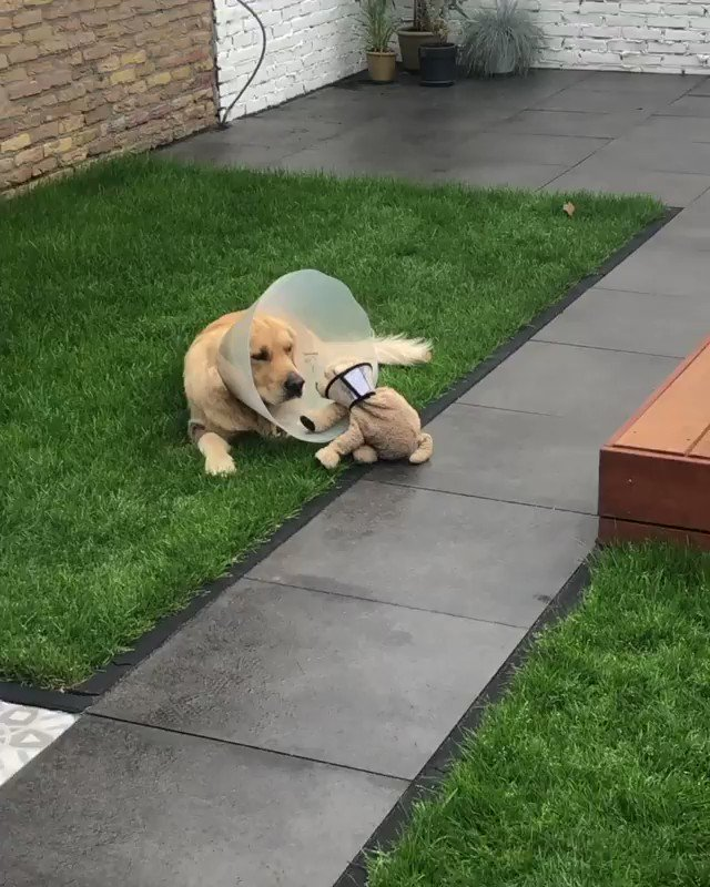 This is Barley. He just had surgery to remove a cancerous tumor. His best friend Fluffy was also given a cone to show their support. 14/10 for both