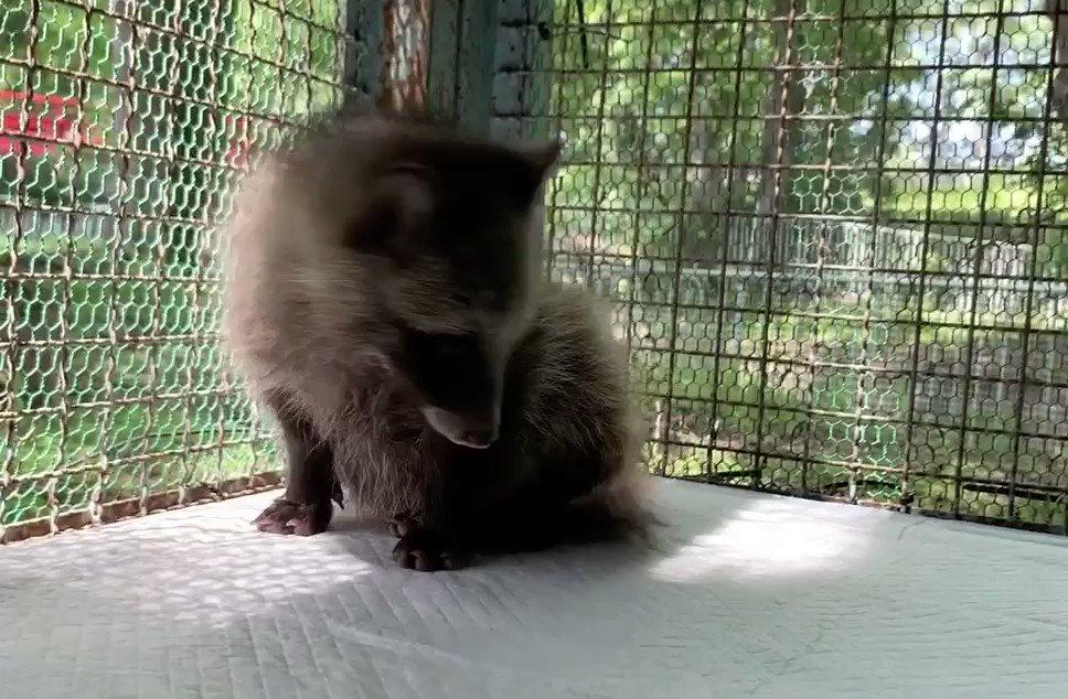 猫っぽくも犬っぽくもあるたぬき#おびひろ動物園 #エゾタヌキ#obihirozoo   #raccoondog#今日のこたぬき #july9