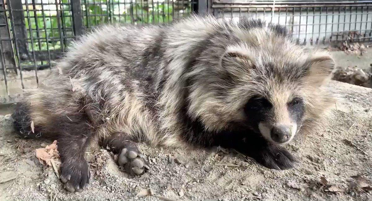 たぬのモフみと共にあらんことをblog()#おびひろ動物園 #エゾタヌキ#obihirozoo   #raccoondog#今日のたぬき  #夏毛mode